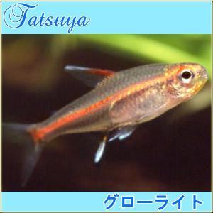 グローライトテトラ 10匹 カラシン系テトラ|tatsuya-fish