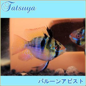 バルーンアピスト 10匹 アピストグラマ|tatsuya-fish