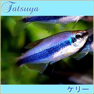 インパクティスケリー・(インペリアルテトラ) 10匹 カラシン系テトラ tatsuya-fish