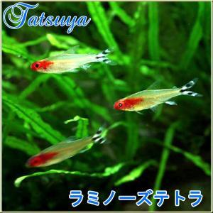 ラミノーズテトラ  10匹 カラシン系テトラ|tatsuya-fish