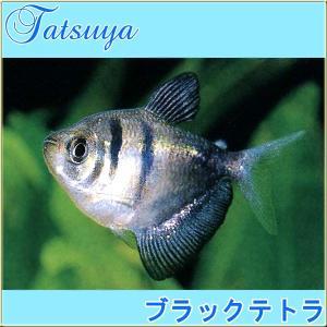 ブラックテトラ 10匹 カラシン系テトラ|tatsuya-fish