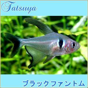 ブラックファントム・テトラ 10匹 カラシン系テトラ|tatsuya-fish