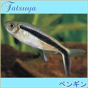 ペンギンテトラ  10匹 カラシン系テトラ|tatsuya-fish
