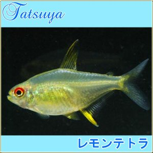 レモンテトラ 10匹 カラシン系テトラ tatsuya-fish