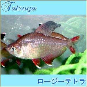 ロージーテトラ 10匹 カラシン系テトラ|tatsuya-fish