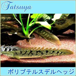 ポリプテルスデルヘッジ  5cm前後 2匹 古代魚|tatsuya-fish