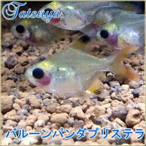 バルーンパンダプリステラ 10匹/カラシン系 tatsuya-fish