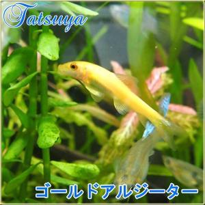 ゴールドアルジーター 10匹 ドジョウ系 tatsuya-fish