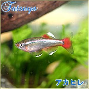 アカヒレ Mサイズ 10匹 人気のアカヒレ!熱帯魚 tatsuya-fish
