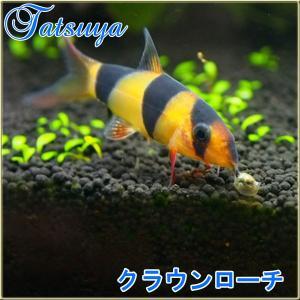 赤く染まる鰭と体表のバンド模様のコントラストが美しく、熱帯魚らしい熱帯魚と言える魚で今も昔も高い人気...