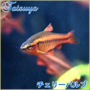 チェリーバルブ 10匹  スネール・プラナリアキラー コイ・ドジョウ系 tatsuya-fish