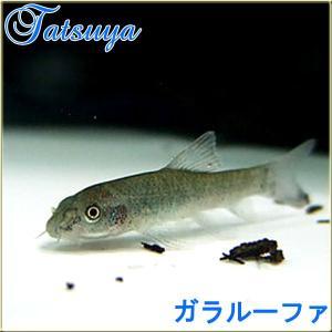 ガラルーファ 10匹 ドクターフィッシュ コイ系|tatsuya-fish