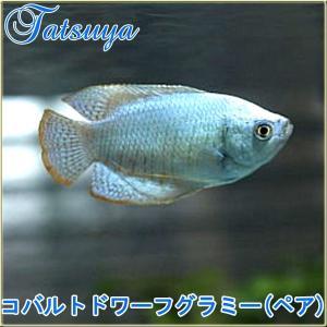 ドワーフグラミーの改良品種です。 オレンジとメタリックなブルーの縞模様を持つ原種から、 ドワーフグラ...