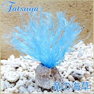 竜の海藻 Model:イソギンチャク col.Blue 止まり木|tatsuya-fish