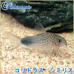コリドラス シミリス 10匹 コリドラス|tatsuya-fish