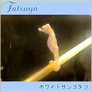 ホワイトサンゴタツ 1匹  性別選択無  ワイルド種 タツノオトシゴ|tatsuya-fish