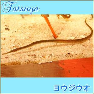 ヨウジウオ★海のミニ竜 タツノオトシゴの仲間! tatsuya-fish