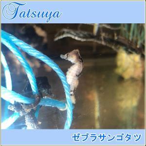 ゼブラサンゴタツ 1匹  性別選択無  ワイルド種 タツノオトシゴ|tatsuya-fish