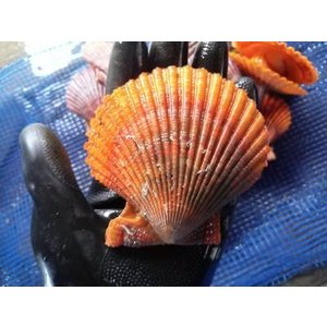 愛媛特産品・産地直送 宇和海産 活ヒオウギ貝 殻長85ミリ以上〜・約100g以上〜 20個入セット|tattan-sougouseikatu|04