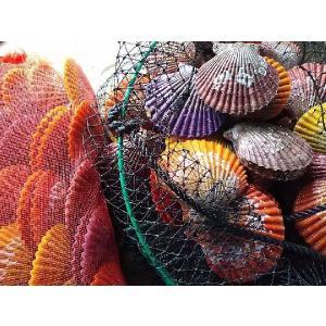 愛媛特産品・産地直送 宇和海産 活ヒオウギ貝 殻長85ミリ以上〜・約100g以上〜 40個入セット|tattan-sougouseikatu