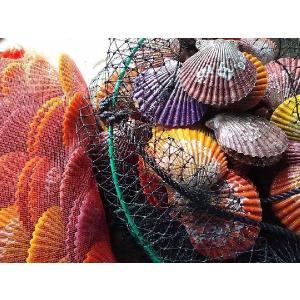 愛媛特産品・産地直送 宇和海産 活ヒオウギ貝 殻長85ミリ以上〜・約100g以上〜 50個入セット|tattan-sougouseikatu