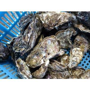 愛媛特産品・産地直送 宇和海産 御荘牡蠣(ミショウカキ) 4kgセット|tattan-sougouseikatu