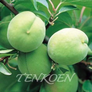 うめ梅 豊後(ぶんご) 苗木 裸苗【株式会社 天香園】|tenkoen