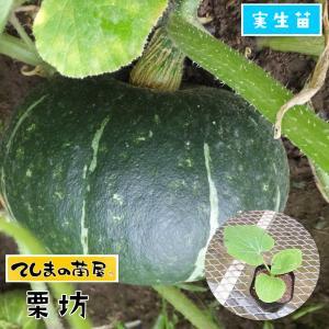 【てしまの苗】カボチャ苗 栗坊 実生苗 9cmポット 【人気】|teshimanonaeya