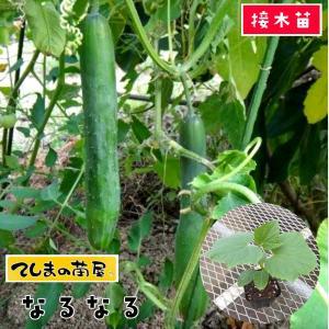 【てしまの苗】キュウリ なるなる 断根接木苗 9cmポット 【人気】|teshimanonaeya