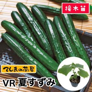 【てしまの苗】キュウリ 夏すずみ 断根接木苗 9cmポット 【人気】|teshimanonaeya