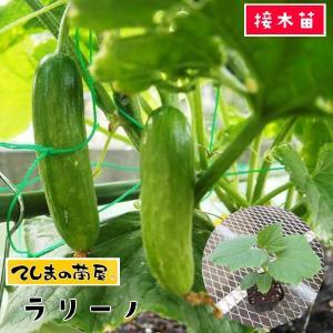 【てしまの苗】キュウリ ラリーノ 断根接木苗 9cmポット 【人気】|teshimanonaeya