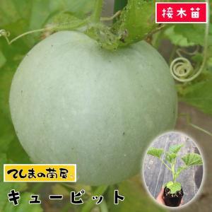 【てしまの苗】メロン苗 キューピット 断根接木苗 9cmポット 【人気】|teshimanonaeya