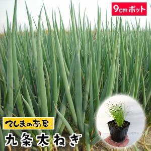 【生産農場直送】ネギ苗 九条太ねぎ 9cmポット...の商品画像