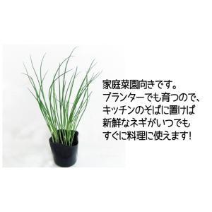 【生産農場直送】ネギ苗 九条太ねぎ 9cmポッ...の詳細画像1
