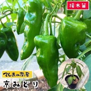【てしまの苗】ピーマン苗 京みどり 断根接木苗 9cmポット 【人気】 teshimanonaeya