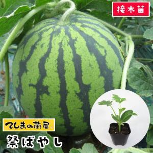 【てしまの苗】スイカ苗 祭ばやし 断根接木苗 9cmポット 【人気】|teshimanonaeya