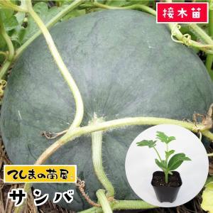 【てしまの苗】スイカ苗 3×サンバ  断根接木苗 9cmポット 【人気】