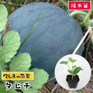 【てしまの苗】スイカ苗 タヒチ 断根接木苗 9cmポット 【人気】