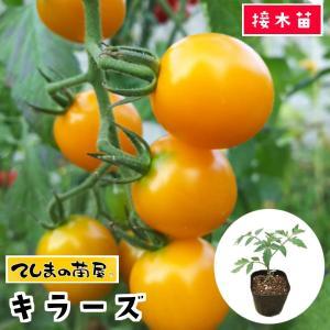 【てしまの苗】 1株 トマト苗 キラーズ 断根接木苗 9cmポット【人気】野菜苗|teshimanonaeya