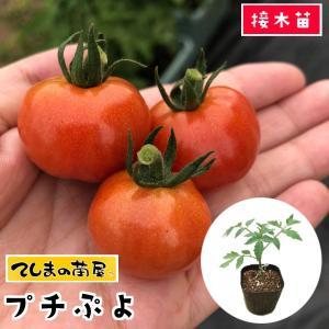 てしまの苗  ミニトマト苗 CFプチぷよ 断根接木苗 9cmポット人気野菜苗
