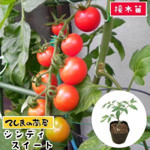 てしまの苗 ミニトマト苗 シンディスイート 断根接木苗 9cmポット人気野菜苗