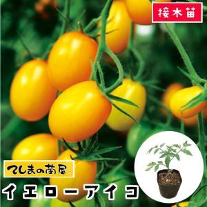 てしまの苗  ミニトマト苗 イエローアイコ 断根接木苗 9cmポット人気 野菜苗