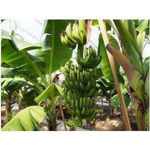 国産バナナ おかやまおひさまファーム 岡山県産 バナナ Mサイズ (120g〜140g) 4本(予約販売)(産地直送)(国産) 88479 (stk)