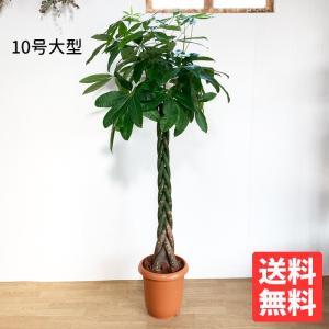 パキラ 10号  観葉植物 10号鉢 大鉢 大型 大きい 尺鉢
