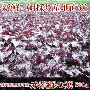 赤しそ 赤紫蘇 500g 葉のみ☆朝採り赤しそ産地直送☆梅干し作りに、赤シソジュースに!!