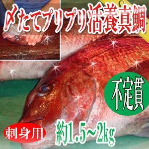 鯛 真鯛 刺身用 〆たてプリプリ活養 1尾約1.5-2kg 冷蔵便 築地直送|toretate1ban