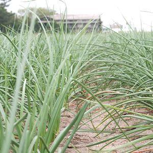 鳥取県産特別栽培 田中さんの北条砂丘らっきょう5kg(根付き土付き らくだらっきょう) 送料無料(北海道・沖縄を除く)|toretatehonpo|05