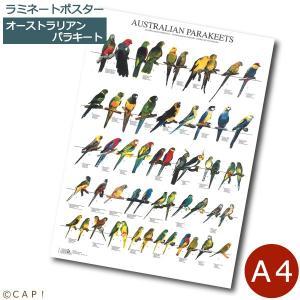 ラミネートポスター【A4サイズ】オーストラリアンパラキート torimura