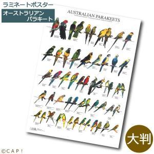 ラミネートポスター【大判】オーストラリアンパラキート*同梱不可*送料個別発生* torimura