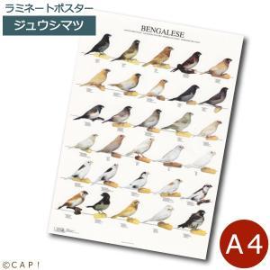 ラミネートポスター【A4サイズ】ジュウシマツ torimura